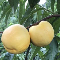 【新鲜水果】新鲜采摘 黄油桃 3斤装  (6-12个)